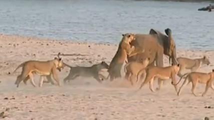 14 лъва не можаха да победят този млад слон
