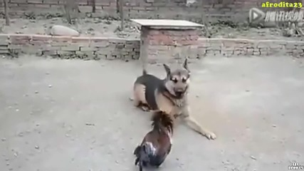 Петел напада куче!