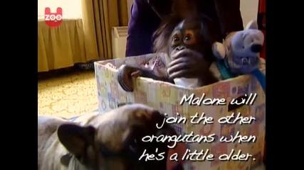 Най - сладките булдог и бебе орангутанче