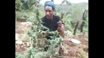 marijuana Jamaican Herbs