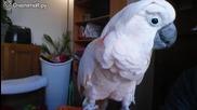 Сладко и стеснително папагалче се закача със стопанина си