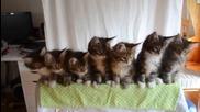 7 котенца играят кючек