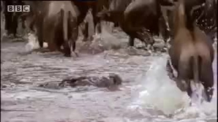 Youtube - Crocodiles vs wildebeest - Bbc wildlife