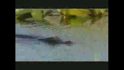 Питон Срещу Алигатор