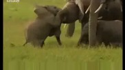 Cute baby elephants fighting! David Attenborough - Bbc wildlife