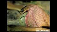 Змия Изяжда Голямо Яйце!