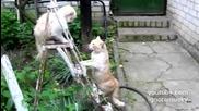 Котешки бой! Адски смях!
