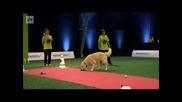 Весел голдън ретривър на състезание за кучета
