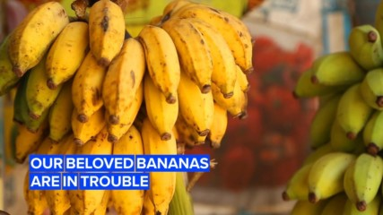 Colombia has declared a national emergency over bananas