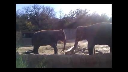 Реакция на слон след неуспешни опити да счупи пръчка