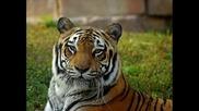 Тигърът на попфолк - а! [ретро и