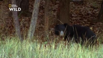 Бърнестата мечка - любопитни факти