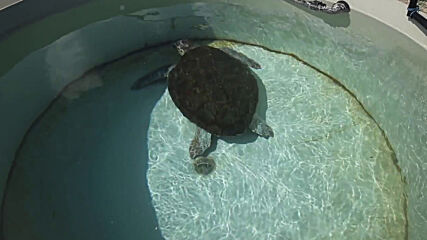 Israel: Workers tend to turtles injured in massive oil spill
