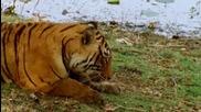 Борба за територия между тигрици