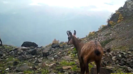 Nosy chamois gets up close and personal with Sochi National Park camera