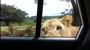 Лъв изненадва туристи по време на сафари