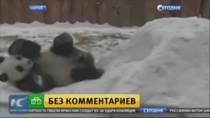 Вижте бурния възторг на панди от първия сняг в живота им