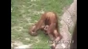 Луда Маймуна В Зоопарка