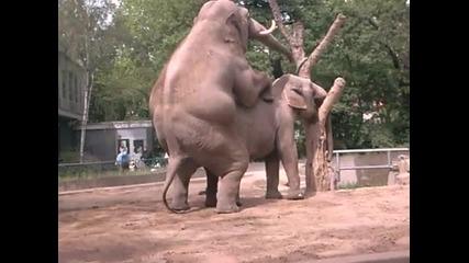 тези какечки снимат слончета как си бъркат в дупето