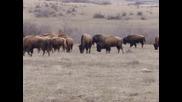 Българска ферма за бизони в село Орлов Дол