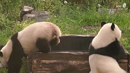 Germany: Pandas cool off in pawsome refreshing bath at Berlin Zoo