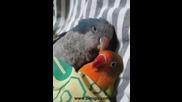Папагалчета заспиват завити - супер сладко