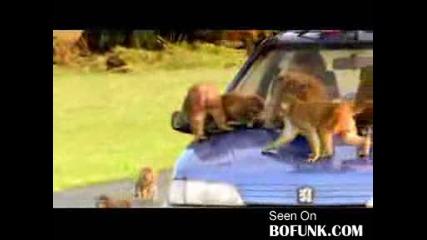 Не се давай на маймуните!