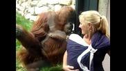 Любопитен орангутан