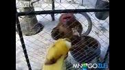 Не хранете тази маймуна