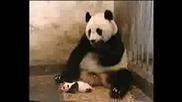 Малка кихаща панда