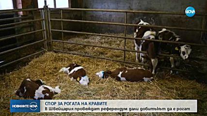 """РЕФЕРЕНДУМ В ШВЕЙЦАРИЯ: """"За"""" или """"Против"""" рогата на кравите"""