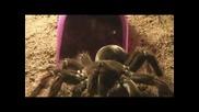 Тарантула (theraphosa blondi) яде мишка