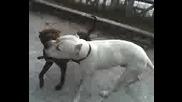 Моите Кучета : Dogo Argentino Vs Pitbul
