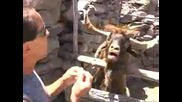 Човекът говори с плюеща коза [ смях ]
