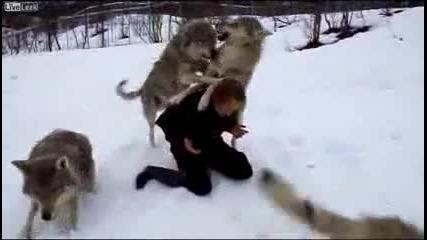 И Вълците Помнят Доброто /и Волки помнят добро !