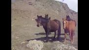 Старопланински кончета