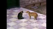 Две луди котки се карат