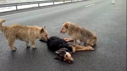Кучета не искат да напуснат мъртвият си приятел