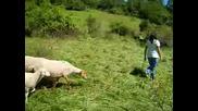 Пастирчето