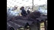 Гълъби прoвадия (на Алошата)