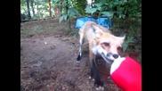 Игрива лисица си играе на дърпаница със стопанина си
