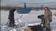 Руски ловни надзиратели спасяват лос от измръзване до смърт!