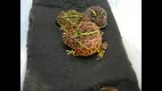 Изнервена жаба
