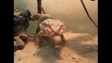 Как се храни брадат дракон ?
