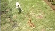 Какво направи кучето, когато видя кралска кобра в двора ?