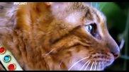 Котка порода Тойгер • най - скъпата домашна котка