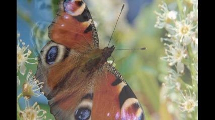 Нежна пеперуда