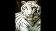 BIG Cats Slideshow - Bungle In The Jungle - Jethro Tull