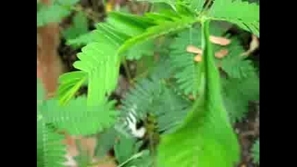 Mimosa pudica The Sensitive Plant