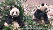 Защо замръзват пандите?!